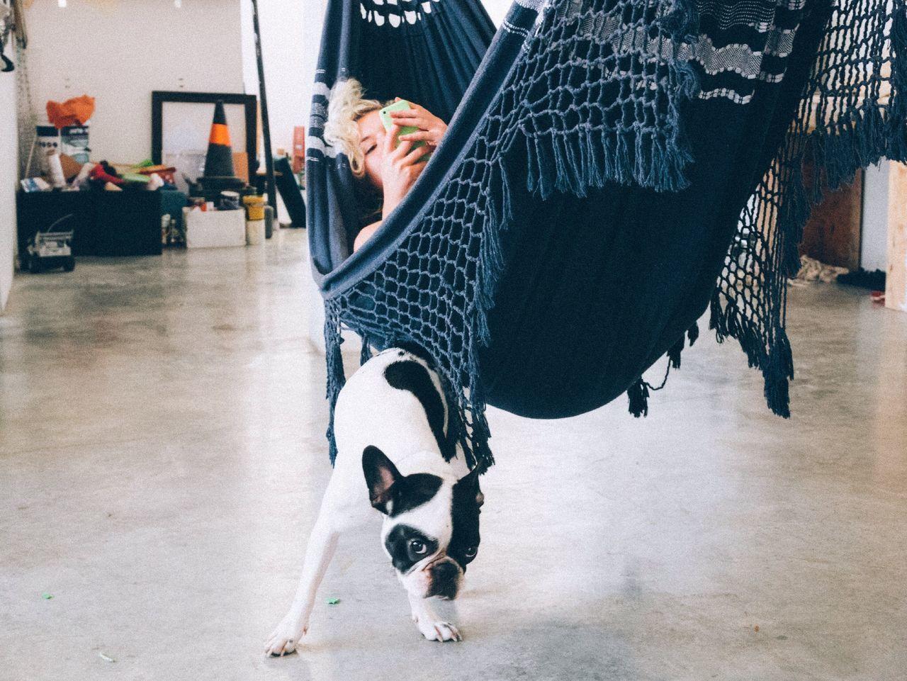 Beautiful stock photos of french bulldog, Day, Dog, Hammock, Indoors