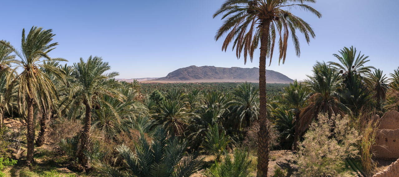 Panoramic view over the oasis of date palms in Figuig in Morocco. In the distance you can see a small mountain that is very close to the Algerian border. Africa Algerian Border Arabian Desert Dry Environment Figuig Green Habitat Hot Landscape Morocco Nature Oasis Ourdoors Palm Palm Tree Panorama Sand Sandy Scenics Sky Solitude Tazdayt Travel