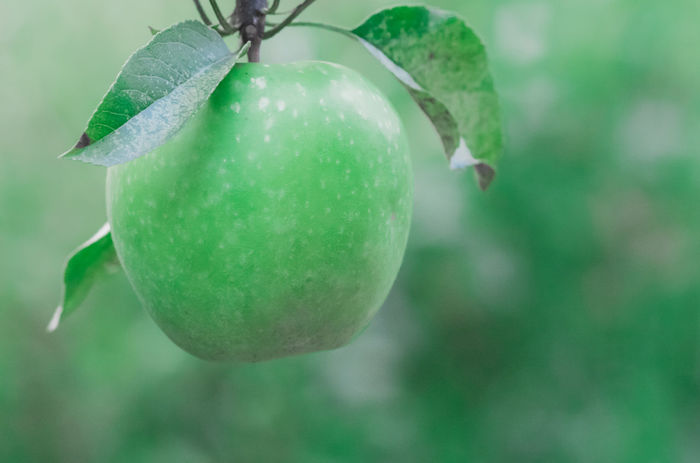 Agriculture Apple - Fruit Apple Blossom Apple Garden Apple Tree Close-up Day Focus On Foreground Food And Drink Freshness Fruit Fruit Art Green Apple Green Apple Tree Green Art Green Color Green Fruit Green Fruit And Green Leaves Green Fruit 🍏 Growth No People Ripe Ripe Fruit Ripe Fruits Selectivefocus