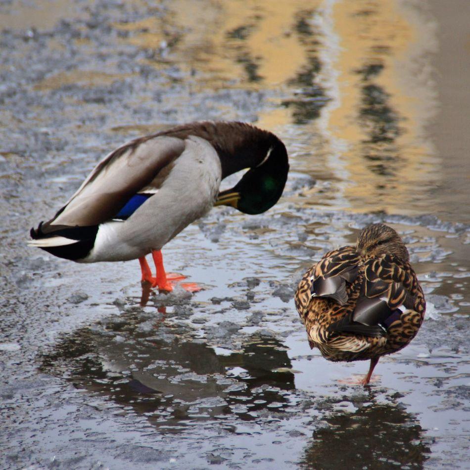 Bird Photography 2 Ducks Ice Male/Female Showcase: February Canonphotography Göteborg, Sweden