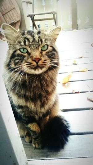 Pets Domestic Cat Close-up Cat Lovers Cats Of EyeEm Myeverythingandmore Cats Cat Tabbycats Mix Mainecoon Greeneyes Domestic Animals Portrait Beauty Love