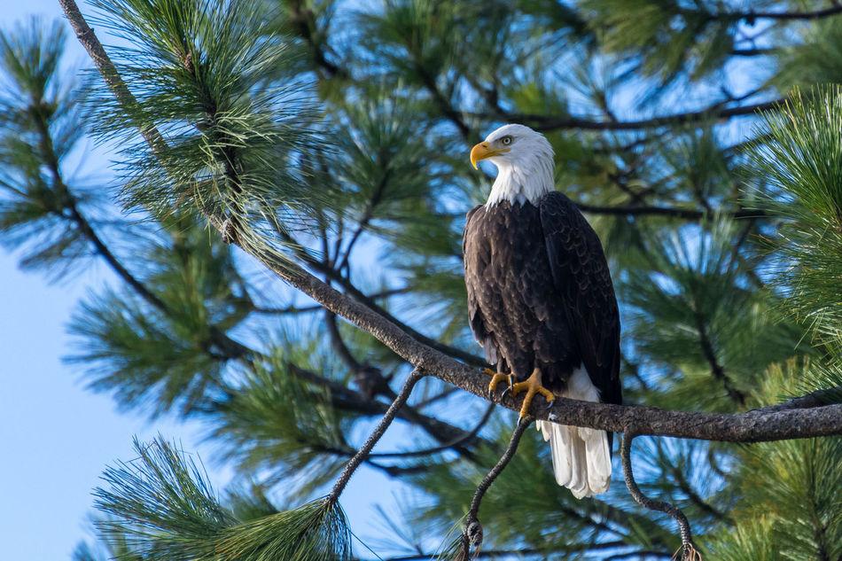 Beautiful stock photos of adler, Animal Themes, Animal Wildlife, Animals In The Wild, Bald Eagle