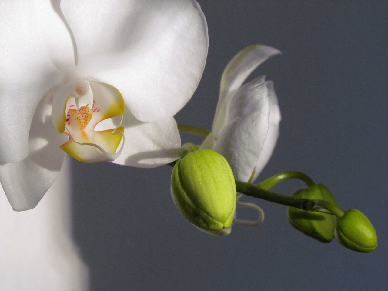 Flower Close-up Nature Freshness Beauty In Nature Growth Yellow Fragility No People Day Outdoors Flower Head Photography Orchids Orchid EyeEm Gallery Phalaenopsis Brazil Petal Orchids Collection Eyeemphotography EyeEm Gallery Nature_collection Kikosene Indoors  EyeEm