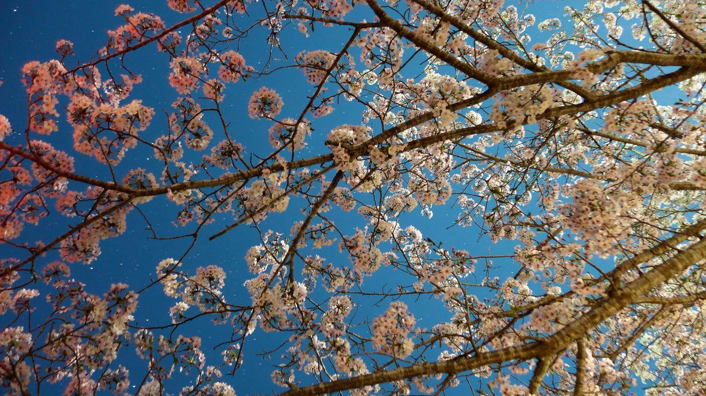 夜桜 Flower Beauty In Nature Tree Sky Clear Sky Branch Blossom Growth Blue Nature Springtime Fragility Low Angle View Freshness No People Botany Day Backgrounds Outdoors Close-up