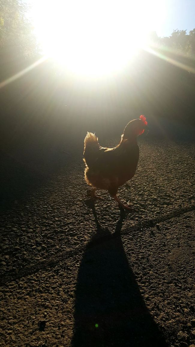 Funky Chicken Chickens Chicken - Bird Hen Farm Light Light And Shadow Light Beam Light Flares Light Flare Light Streams Light Beams Shadow North Wales Cilcain Samsung Galaxy S6 Edge+