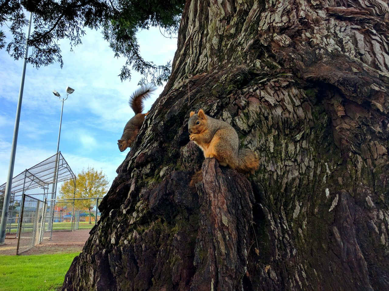 Low Angle View Of Squirrels On Tree Trunk At Park