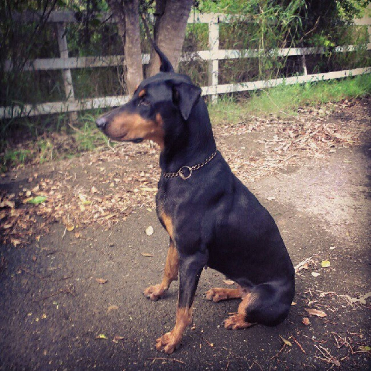 Duquesa ^~^ Dog Duquesa Beautiful Sweet Doberman pet