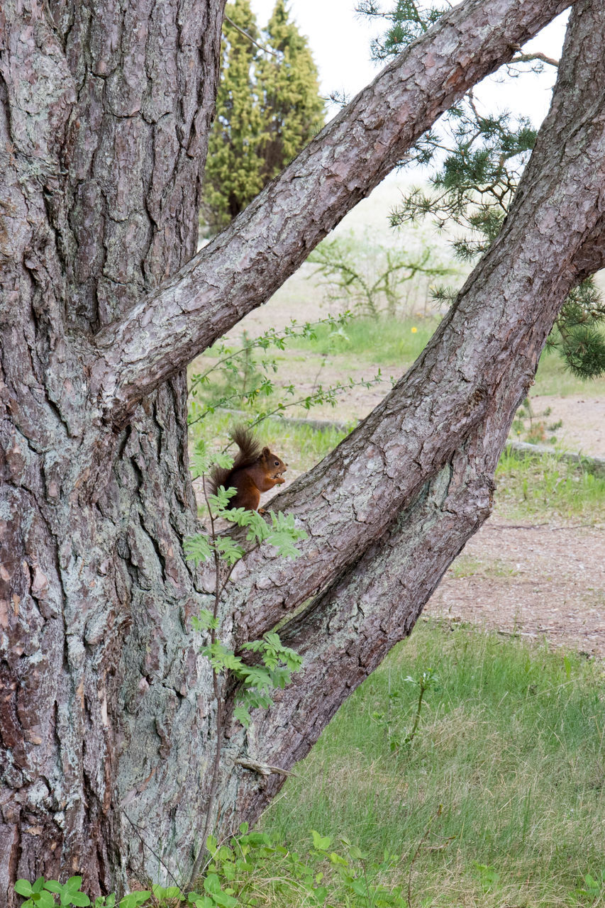 one animal, tree, mammal, animals in the wild, tree trunk, animal themes, animal wildlife, squirrel, day, outdoors, monkey, no people, nature, sitting, branch, full length, grass, baboon
