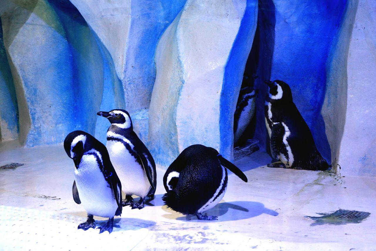 animal themes, animals in the wild, penguin, animal wildlife, no people, water, nature, indoors, bird, sea life, beauty in nature, day