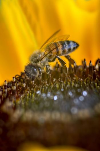Animal Themes Animal Wildlife Animals In The Wild Beauty In Nature Bee Close-up Flower Freshness Honey Bee Insect Italy Macro Nature No People One Animal Pollination Selective Focus Sunflower Trioplan100 Yellow