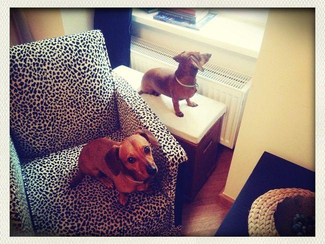 Sauce & Magoo: The Album Daschund Dogs Interior Design