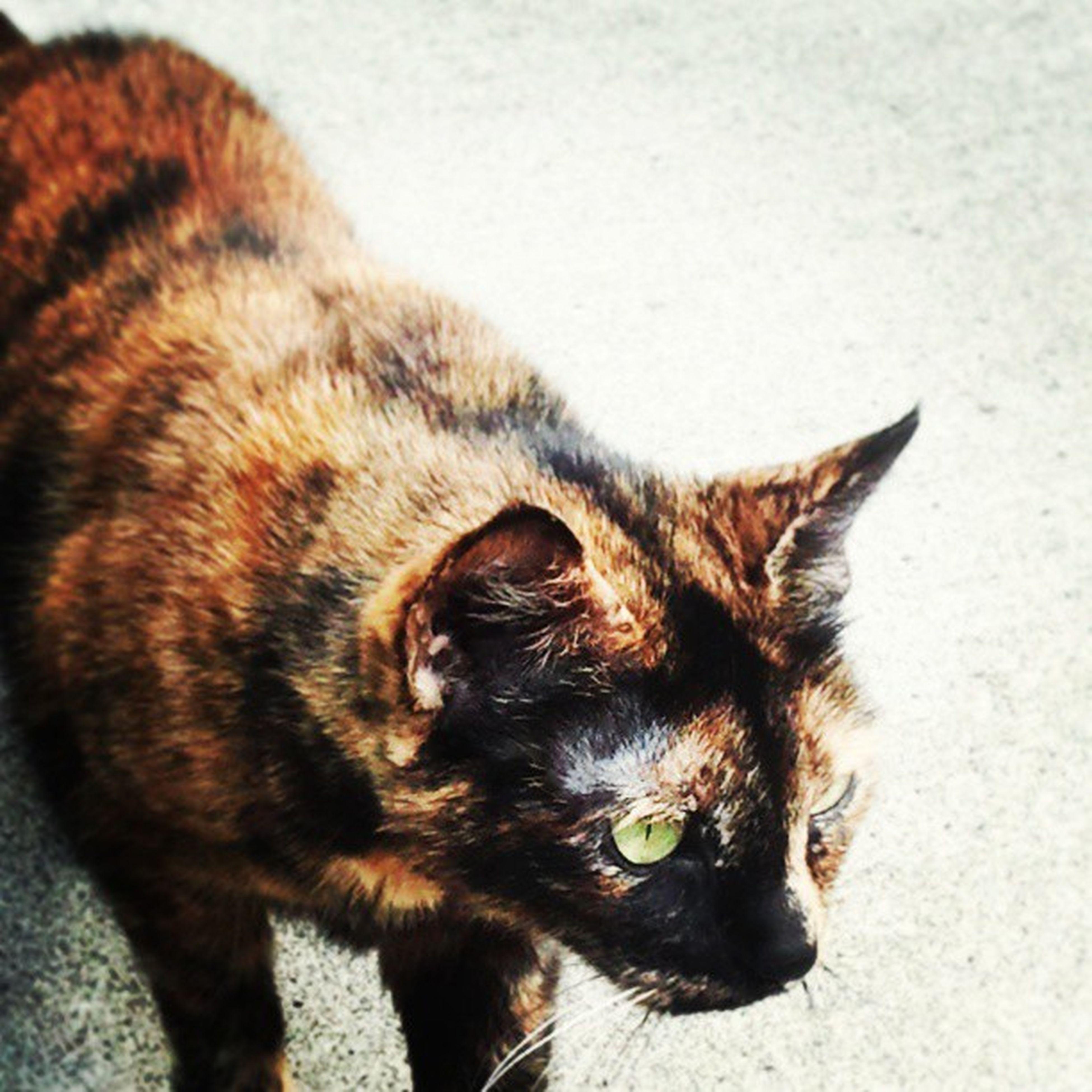 Pretty kitty :) Apartmentcats Twoface Greeneyes Prettykitty