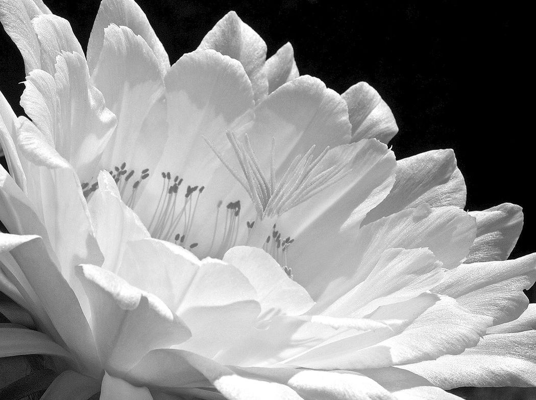 Black And White Photography Close-up Extreme Close-up Flower In Bloom Nature Petal Stark Contrast