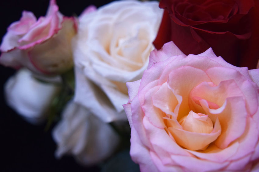 Several Delicate roses blom Blooming Blossom Botany Close-up Elégance Flower Flower Head Fragility Freshness Petal Pink Pink Color Red Roman Romance, Love, Concept,spring, Summer Rosé Rose - Flower Softness Springtime We Wedding, Berlin