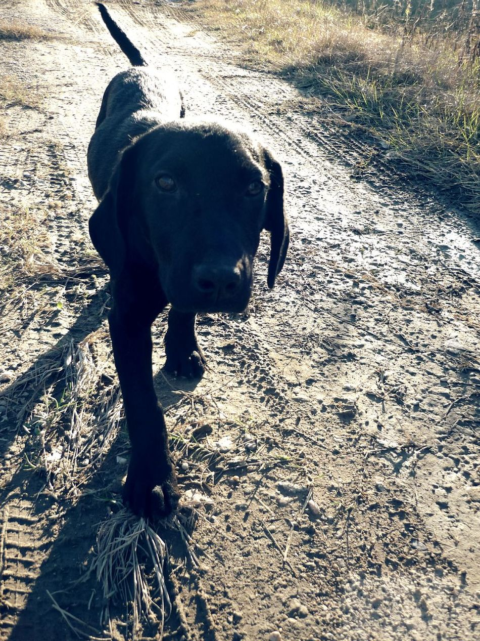 Animal Photography Puppy Love Eyem Best Shots Nature Photography Hunting Dog Black Labrador Nature Walks