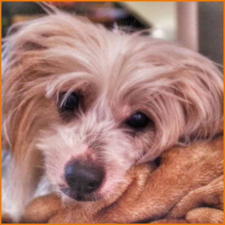 My Precious Pippin🐶 Chinese Crested Powder Puff Dog I Love My Pet My Heartbeat Velcro dog My Fur Baby Pippin
