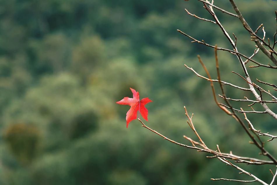 Beautiful stock photos of herbst, Australia, Autumn, Beauty In Nature, Branch
