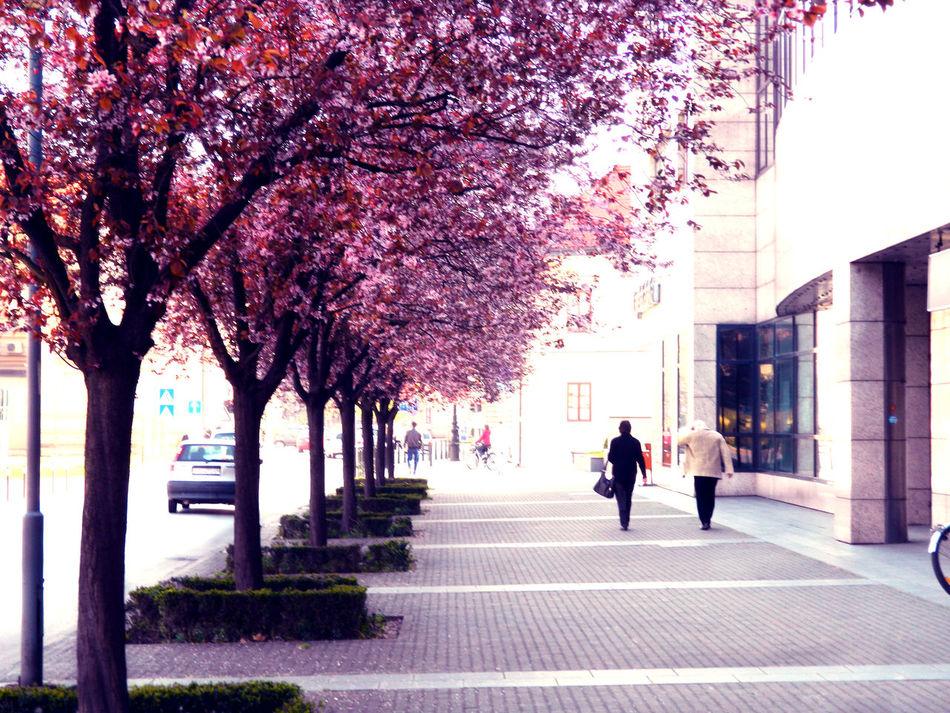 Anita Beutiful  City Life Croatia Day Daylight Lifestyle Light Nice Pink Pretty Spring Street Sunny Trees Varazdin First Eyeem Photo