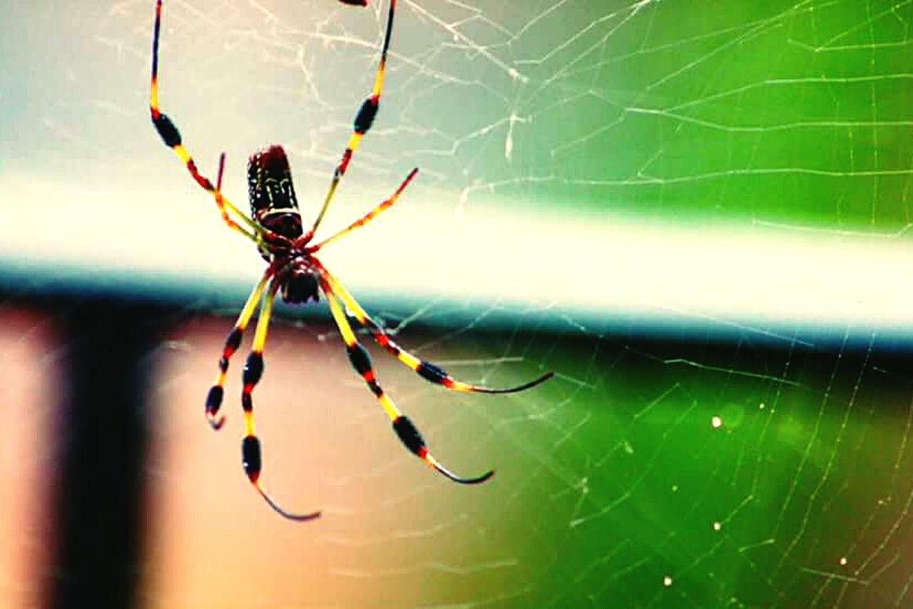 Spider Web Insect Animal Themes Spider Close-up Animals In The Wild Web Outdoors Nature Animal Leg Banana Spider Insect Photography Insects  Weaving Photography Insects  Beauty In Nature Spiders Spider One Animal Insects  Animal Wildlife Animals In The Wild Nature