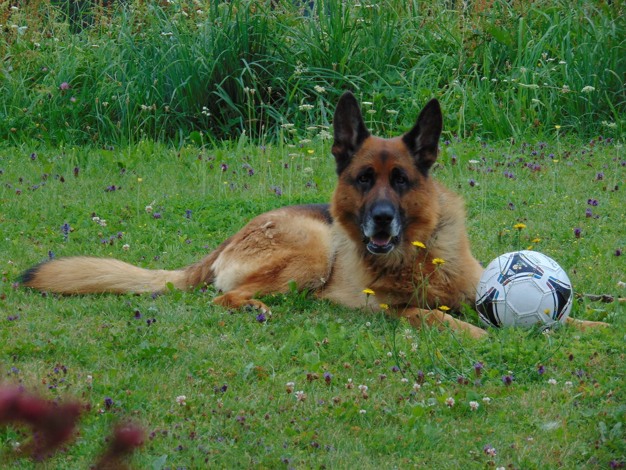 Beautiful stock photos of german shepherd,  Ball,  Brown,  Canine,  Day