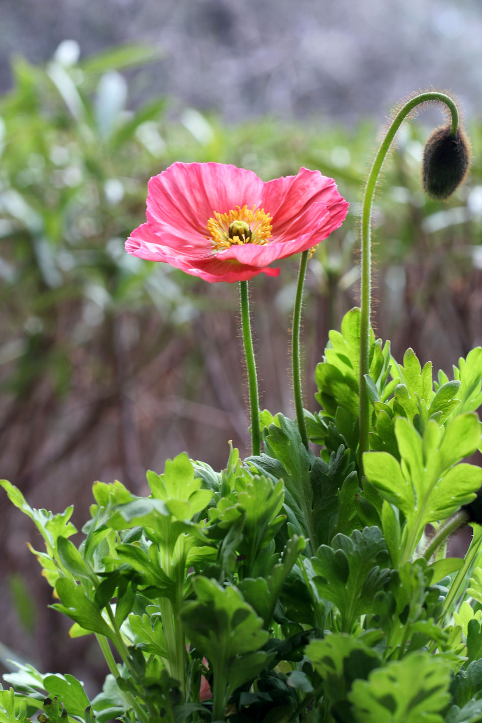 Beauty In Nature Blooming Close-up Day Flower Flower Head Focus On Foreground Fragility Freshness Green Color Growth Leaf Nature No People Outdoors Petal Plant Poppi Poppi Flo Poppies  Poppy Flower Poppy Flowers Red Color Red Flower