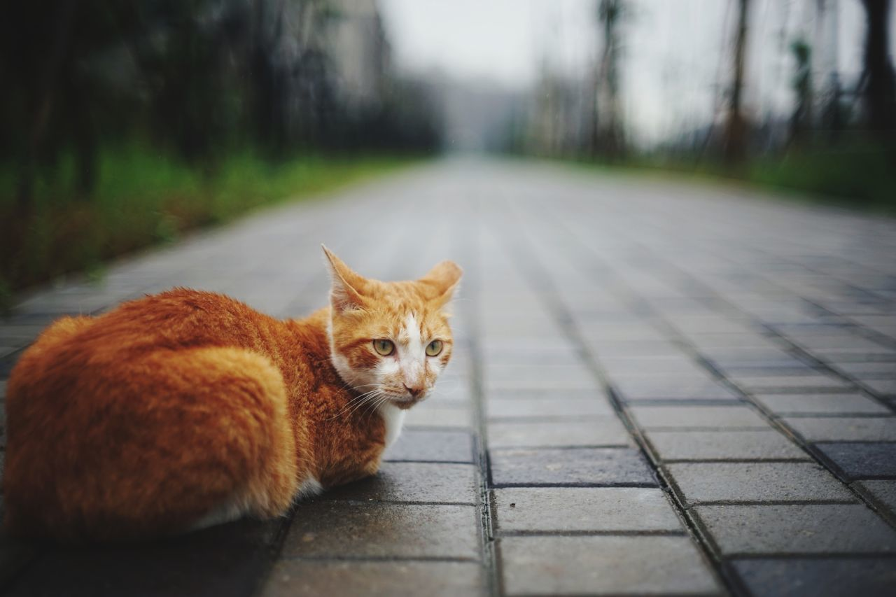 Domestic Cat Portrait Pets One Animal Animal Feline Mammal Animal Themes Domestic Animals Outdoors Ginger Cat The Great Outdoors - 2017 EyeEm Awards 街貓 Katze Animals In The Wild The Portraitist - 2017 EyeEm Awards Vanishing Point