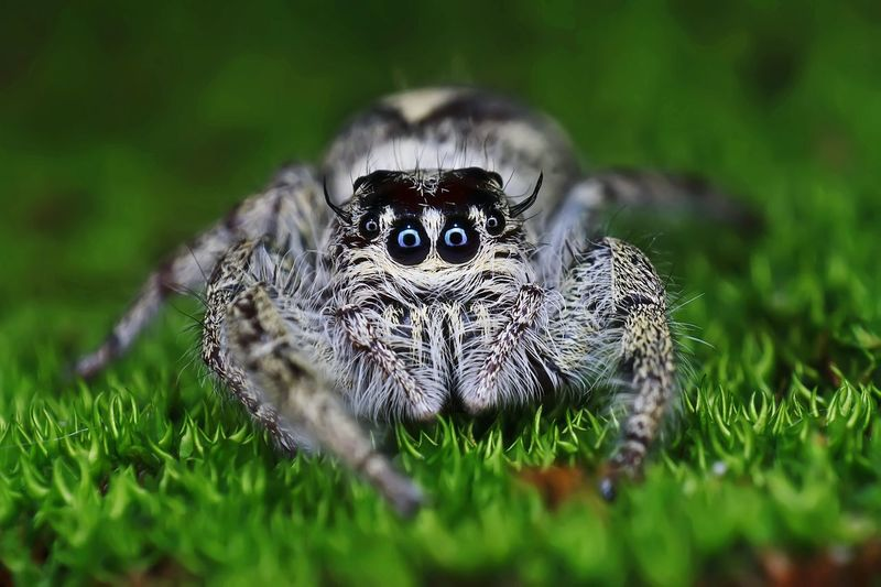 Hairy jumping spider Macro Closeup Insect Spider Animal Small Nature Eye Garden Jungle Mossy Green Jumping Eight Legs