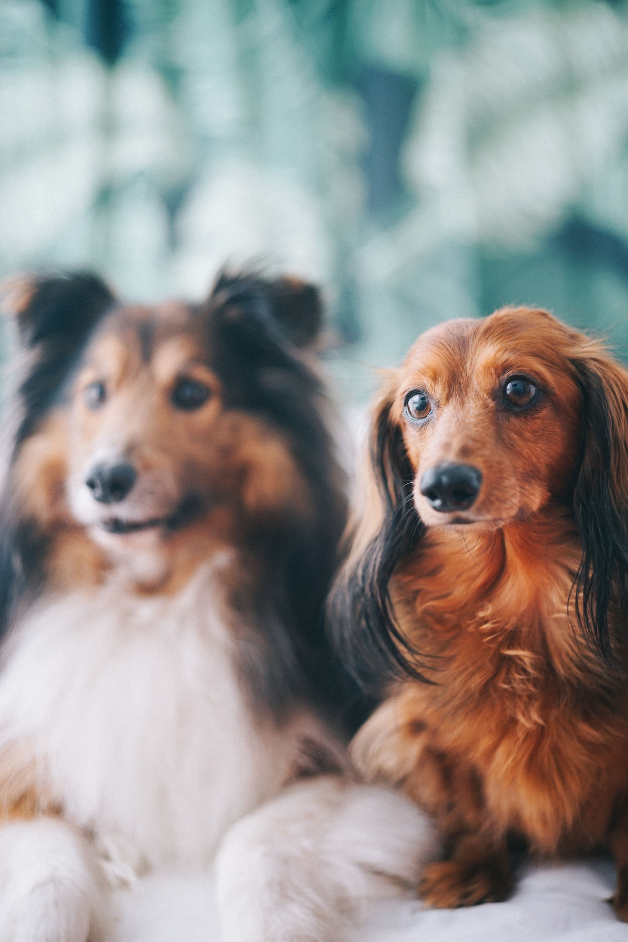 Animal Themes Brown Cavalier King Charles Spaniel Close-up Dachshund Day Dog Domestic Animals Focus On Foreground Indoors  Mammal No People Pets Sausagedog Sheepdog Sheltie Two Dogs