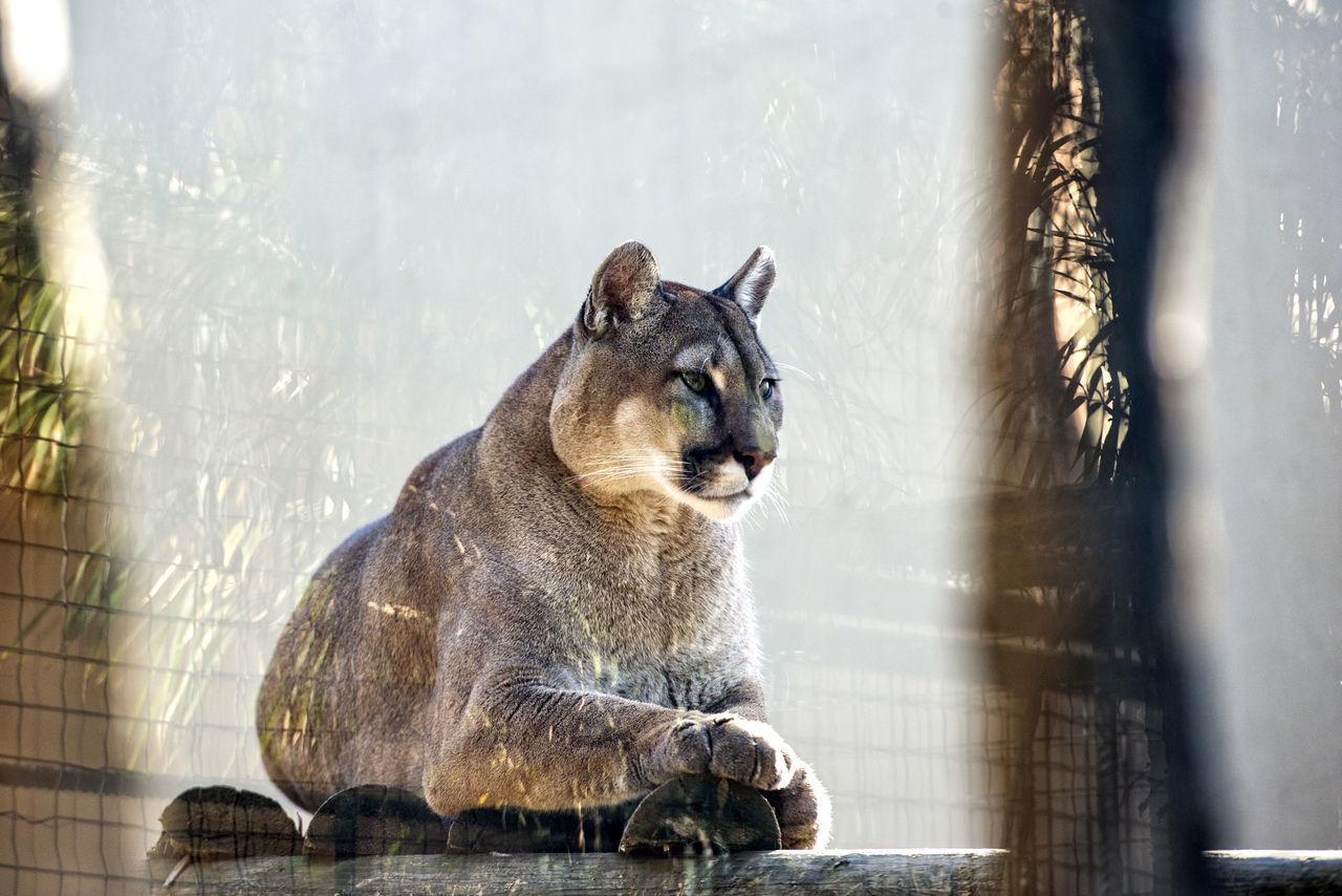 Beautiful stock photos of puma, Animal Themes, Animal Wildlife, Animals In Captivity, Day