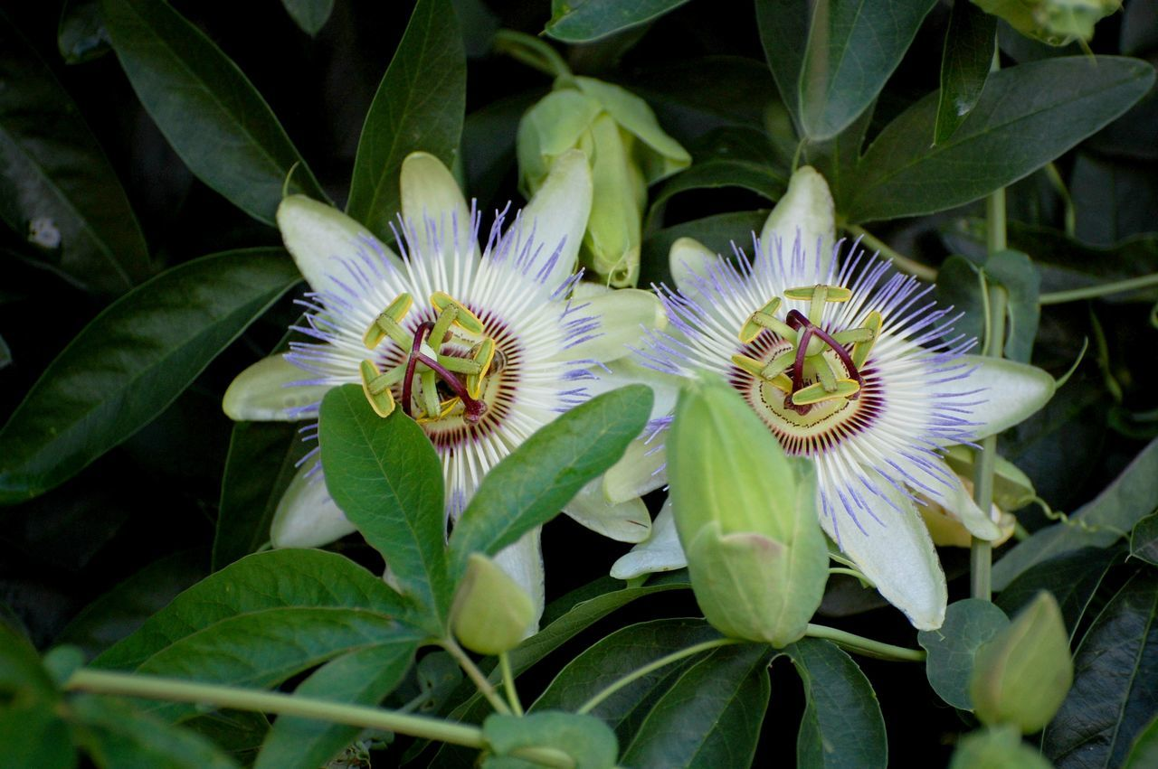 Animal Themes Beauty In Nature Blooming Close-up Day Flower Flower Head Fragility Freshness Green Color Growth Leaf Nature No People Outdoors Passion Passion Flower Passionpassport Petal Plant Tropical
