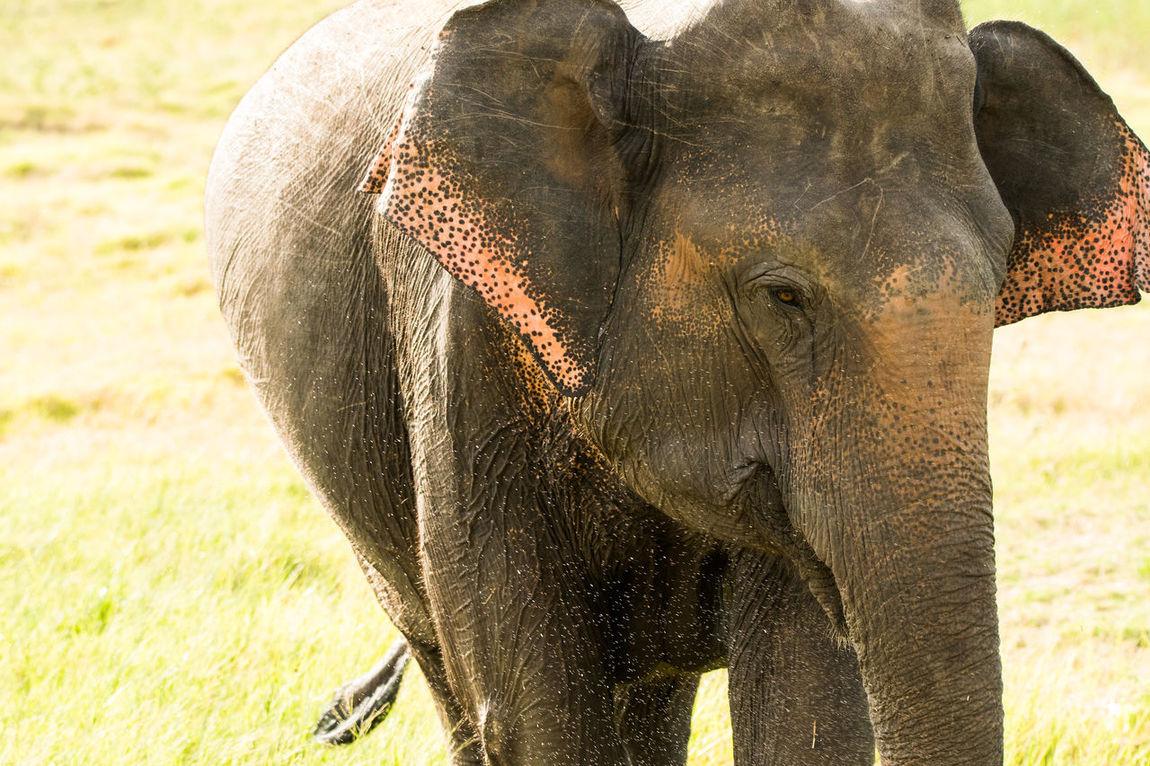 Wild Elephants In Sri Lanka Animals Beauty In Nature Big Animals Big Ears Cute Ears Elephant Elephant Calf Elephant Herd Forget Hunting India Indian Elephant Mammal Natural World Nellie No Person Safari Splash Sri Lanka Sunny Trunk Tusks Wildlife Wrinkled EyeEmNewHere