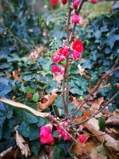 Winterflower Plant Nature Outdoors Day Growth Leaf No People Beauty In Nature Pink Color Close-up Red Flower Freshness
