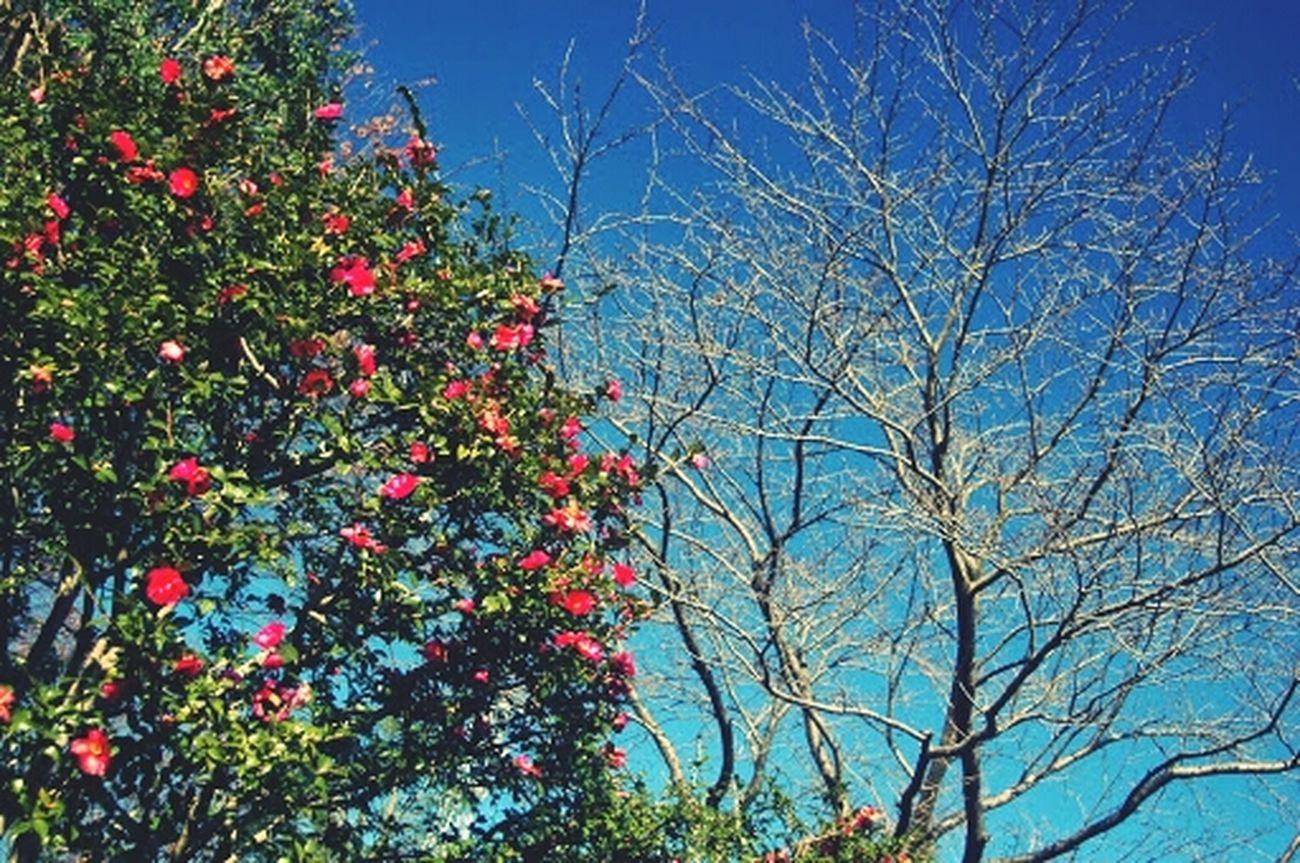 秋から冬へ To wintter Nature Winter Autumn Colors Camellia