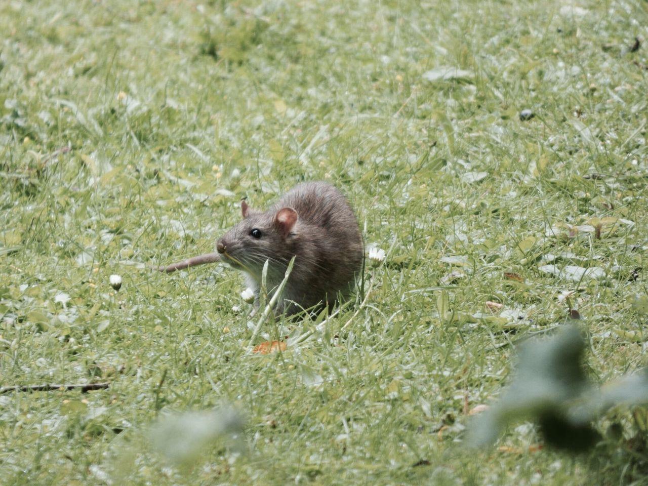 rats are beautiful One Animal Animals In The Wild Animal Wildlife Mammal Outdoors Rat