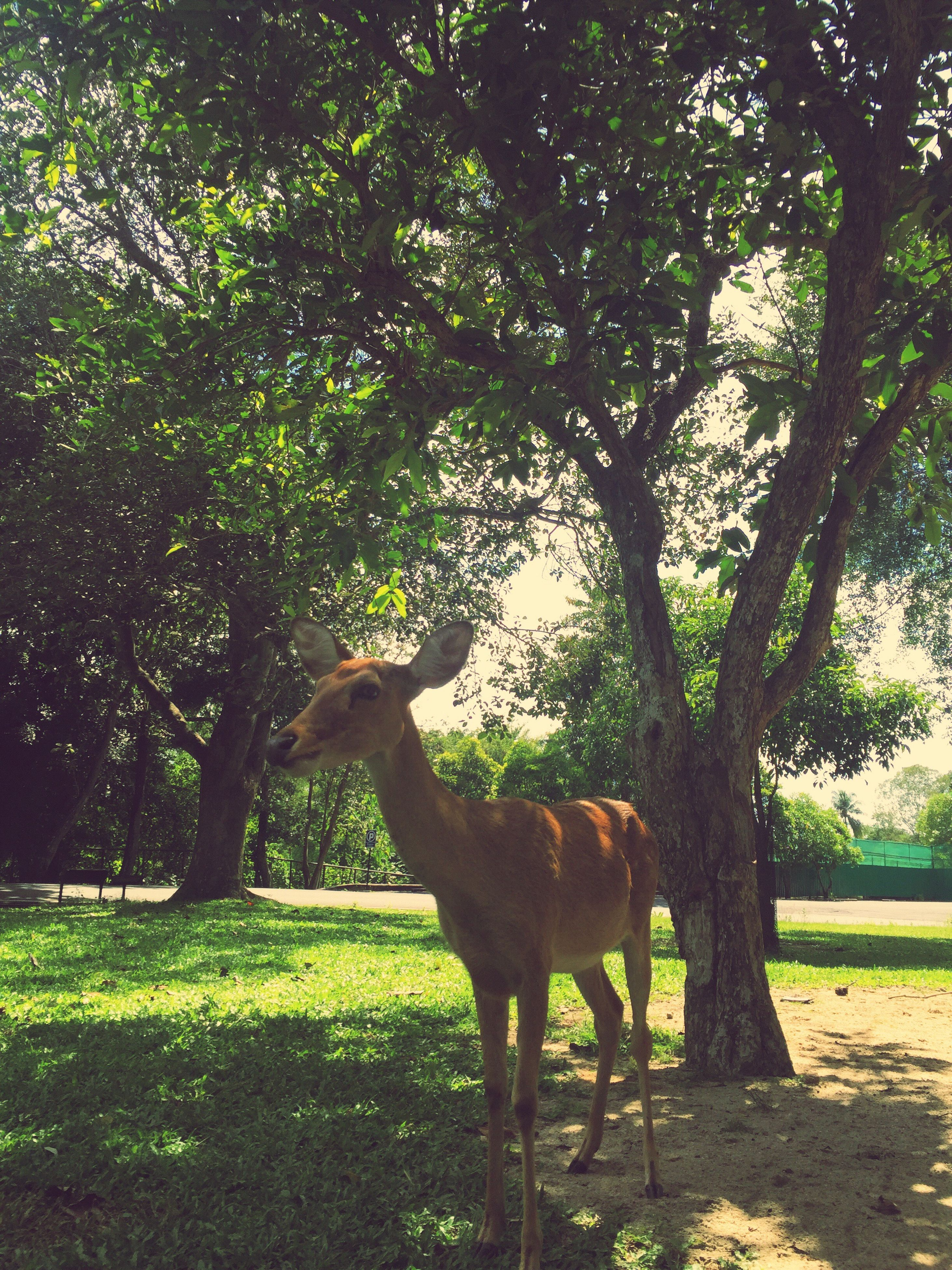 tree, animal themes, one animal, full length, standing, side view, grass, mammal, domestic animals, green color, field, growth, herbivorous, livestock, tree trunk, green, looking, zoology, day, nature, tranquility, domestic cattle, outdoors, no people, grassy