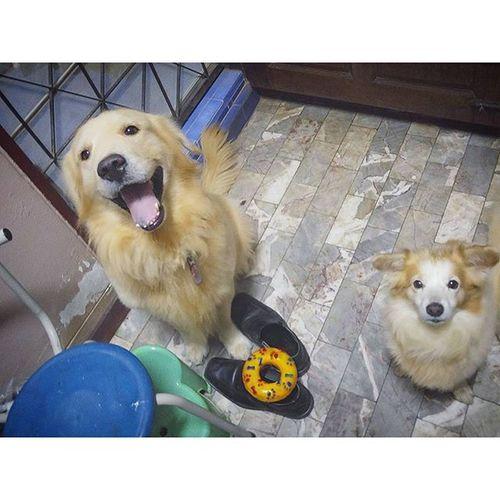 บอกว่าถ้าอยากกินขนมให้วางของเล่นในปากก่อน จ่ะ วางบนรองเท้าข้านี่ล่ะ ขอบคุณมาก 😑😑😑 Dogfromhell Dog Pet Pet13 goldenretriever