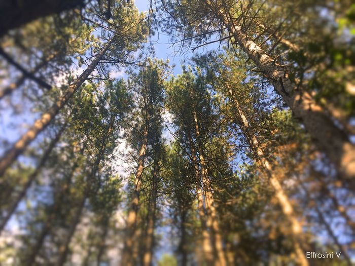 Eyes on the sky Beauty In Nature Black Pine Day Directly Below Green Color Low Angle View Nature No People Sky Sunny Tall - High Tranquility Tree