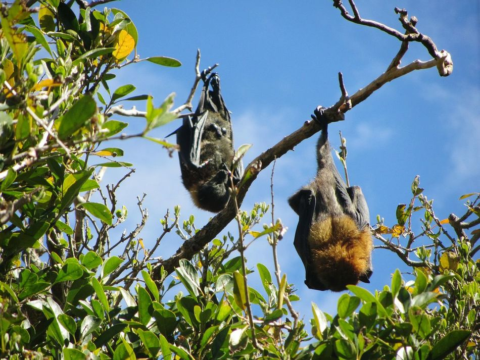 Hanging Around Flying Fox Wild Animals Wildlife Wildlife & Nature Nature Photography Animal Photography Upside Down Nature_collection Flying Animals Chill Mode Chilling The Great Outdoors - 2016 EyeEm Awards