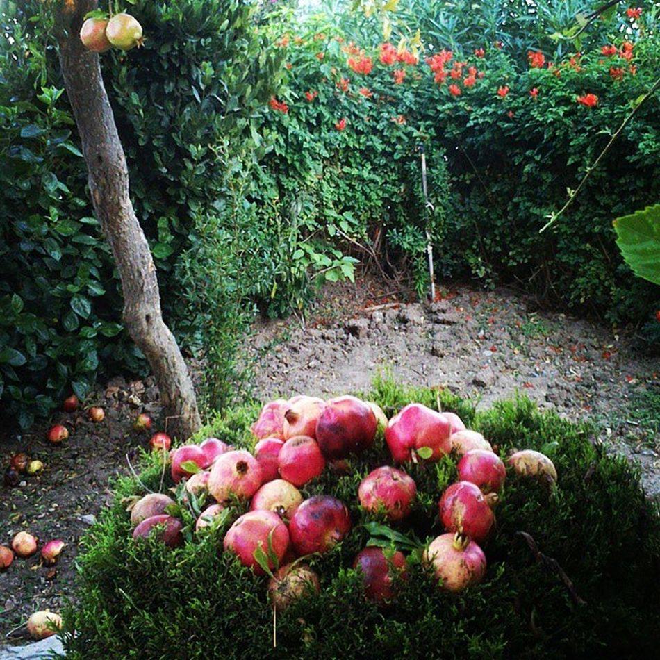 Bahçeden narlar... Bodrum Bağla Akyarlar Fotograf
