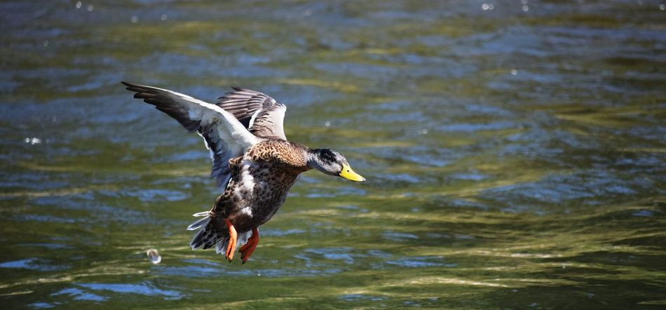 Clackamette Park Clackamas The Week Of Eyeem Nature Oregon Nikon Beauty In Nature Fresh On Eyeem  No People Oregon City Nikonphotography NIKON D5300 D5300 Taking Photos Flight Ducks Duck