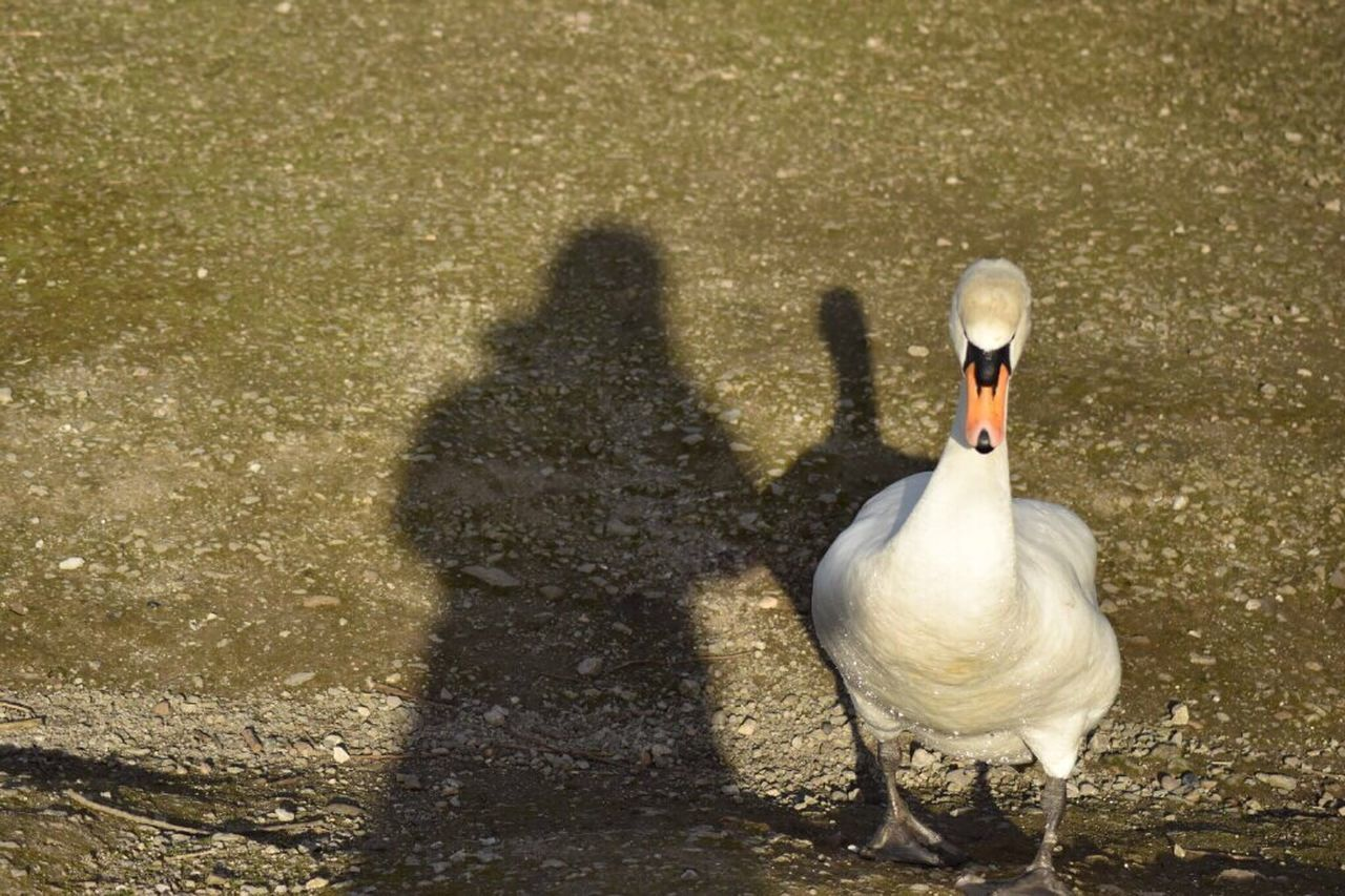 Me and shadow Shade Shadow Follow Swan Waddle Waddle That's Me Taking Photos Eyeemphotography Nature Photography Naturelovers EyeEm Nature Lover Eye4photography  Sunshine Sunny Day Me And My Shadow Happy Friend Love Attenbrough Nature Reserve Nottingham Outdoors Natural Beauty EyeEm Best Shots EyeEm Gallery EyeEm