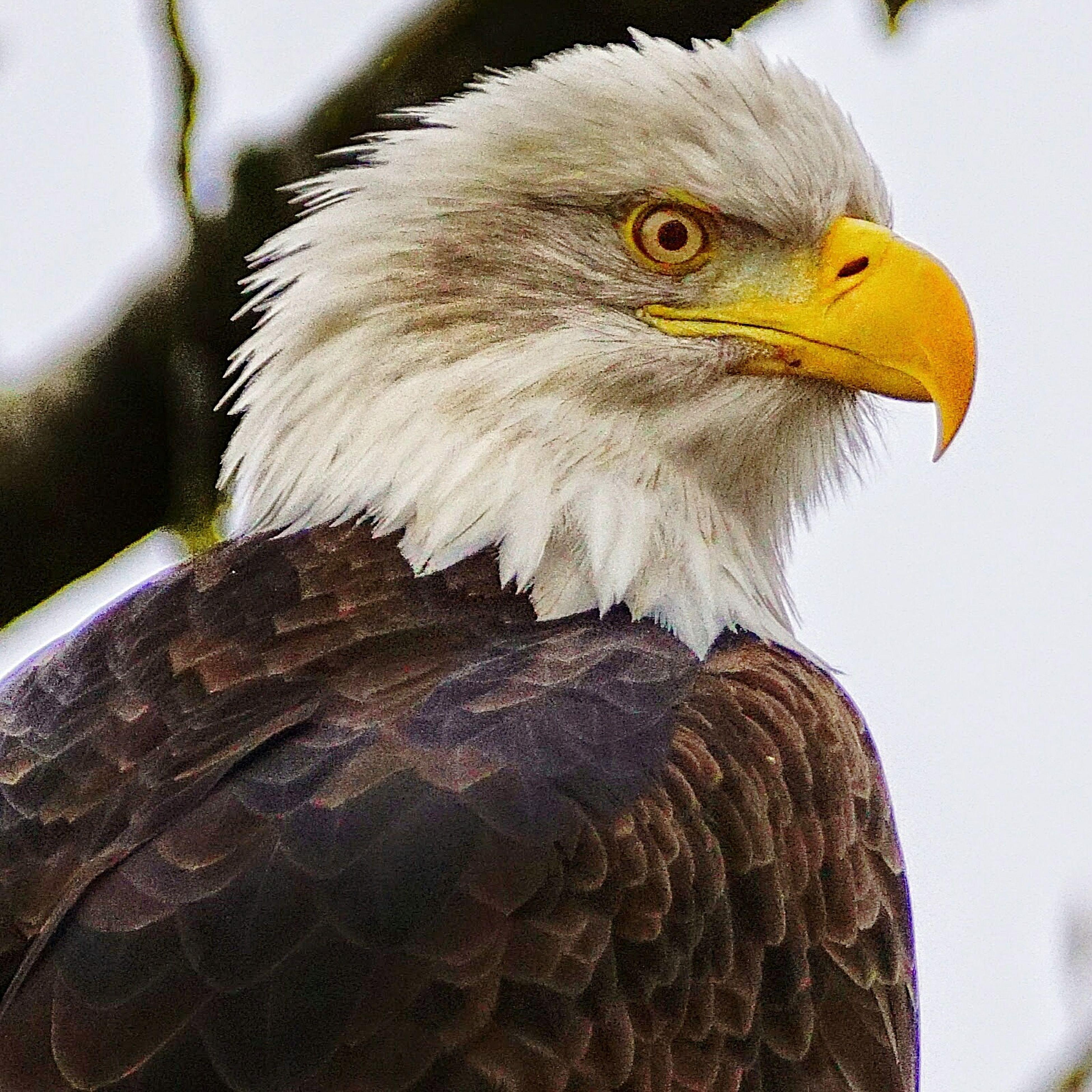 Nature Bald Eagle Eagle Beautiful Bc British Columbia Pretty Majestic Strong Bird