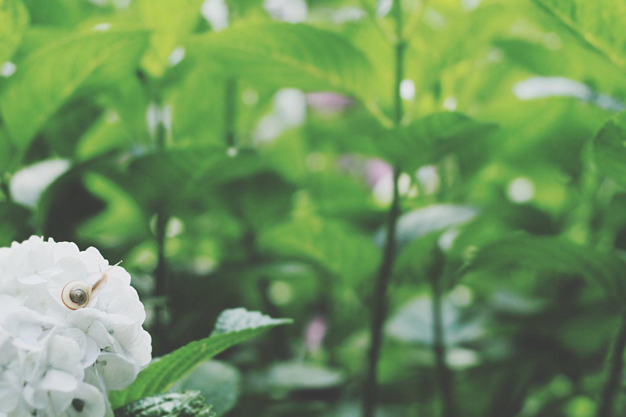 でんでん虫がいましたとさ♪ EyeEm Nature Lover 紫陽花 物語完結 続編勘弁 Nature_collection 物語の撮影依頼はお気軽にDMで DMない EyeEm Best Shots しつこいと嫌われる Japan Rainy Days 次はどこへ行こうかな、と。 The Moment - 2015 EyeEm Awards