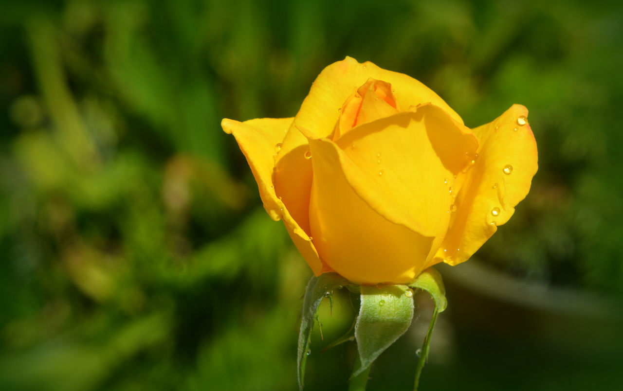 Blooming Blossoming  Close-up Day Delicate Dew Drops Flower Flower Head Freshness Nature No People Outdoors Plant Rose - Flower Water Droplets Yellow Yellow Flower Yellow Rose Yellow Rose Bud Yellow Roses