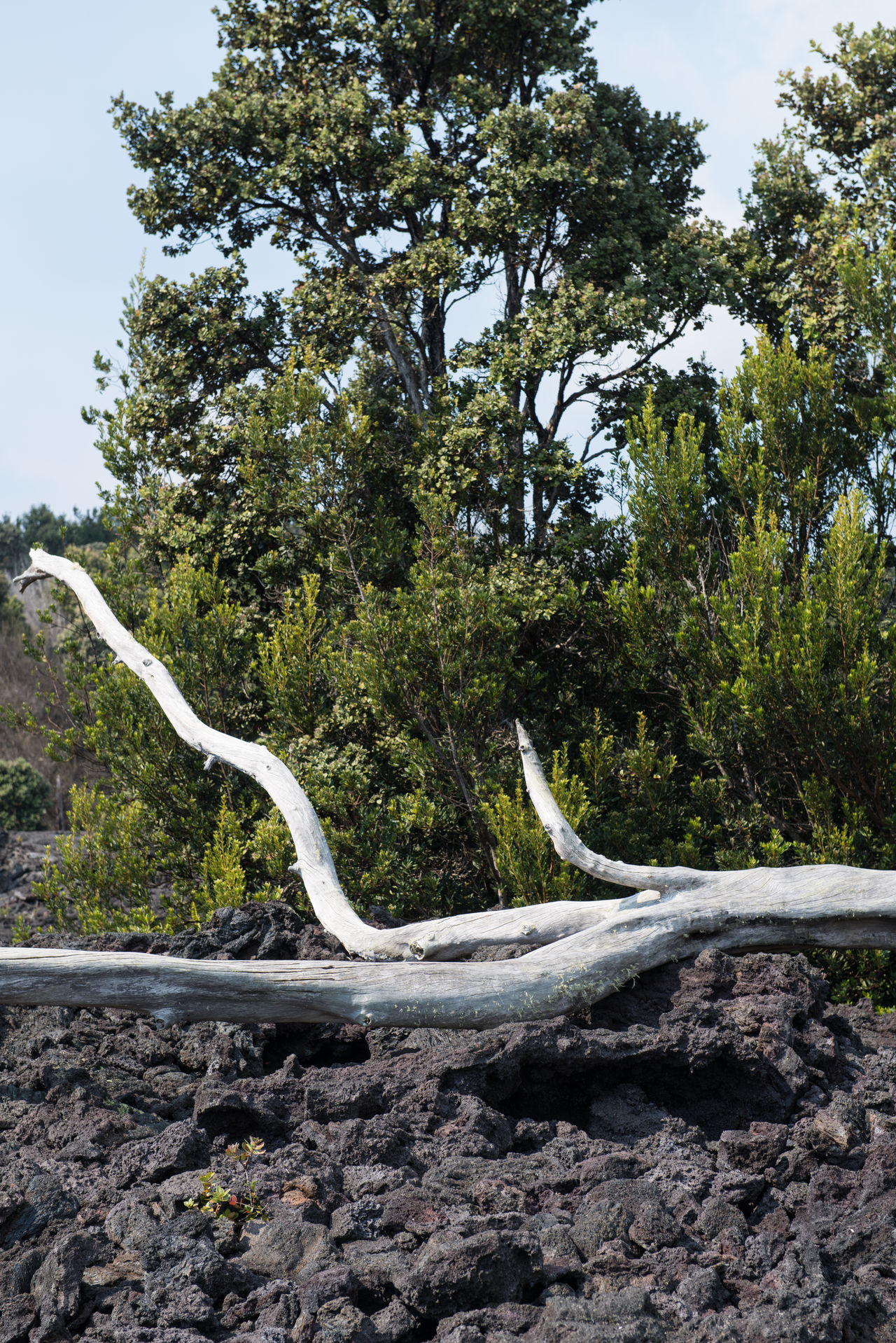 Contrast Dead Tree Hawaii Lava Nature Nature_collection No People Volcano National Park