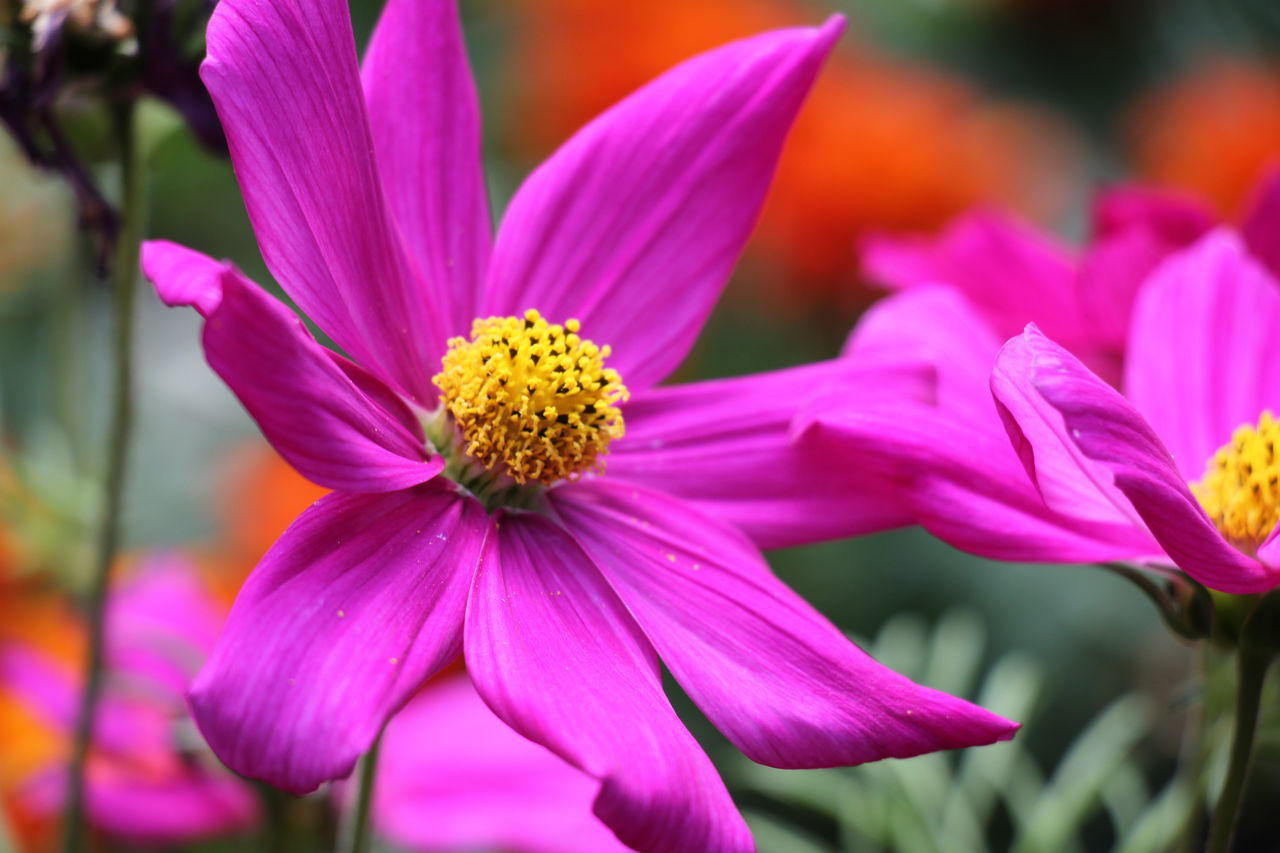 flower, petal, beauty in nature, fragility, flower head, growth, pink color, nature, freshness, blooming, focus on foreground, purple, plant, outdoors, no people, close-up, day, eastern purple coneflower, osteospermum