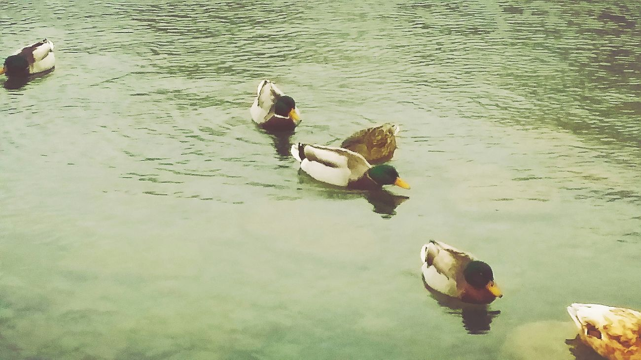 Time For Some Peace And Quiet At The Duck Pond Wildlife & Nature Our Feathered Friends Ducks😄 Hanging Out Small Town While Strolling At The Park Feeding The Ducks Out For A Walk