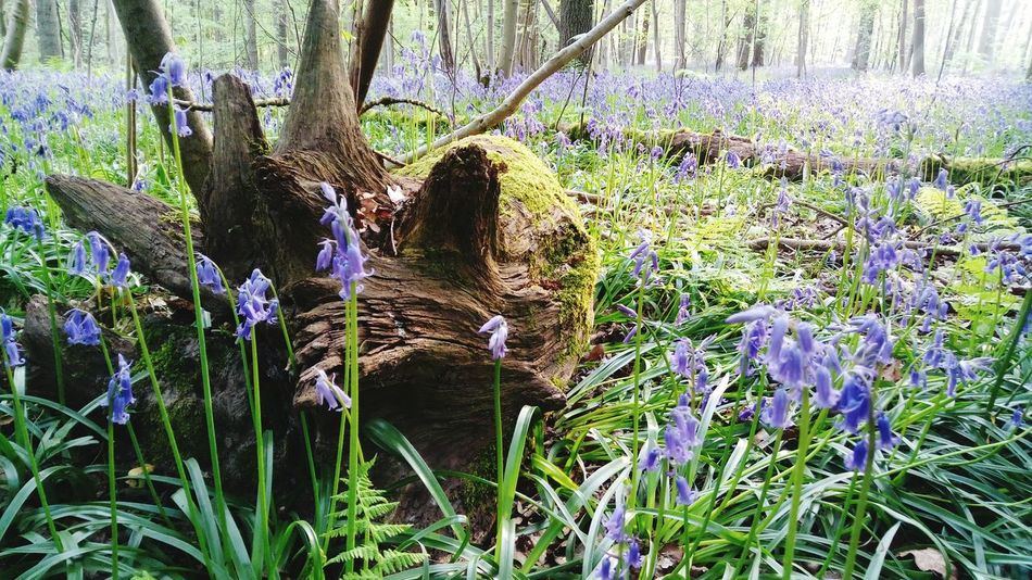 Hallerbos Growth Nature Beauty In Nature No People Hiacynth Beauty In Nature Wilderness Forest Tree Area Purple Flower Plant Tree Grass