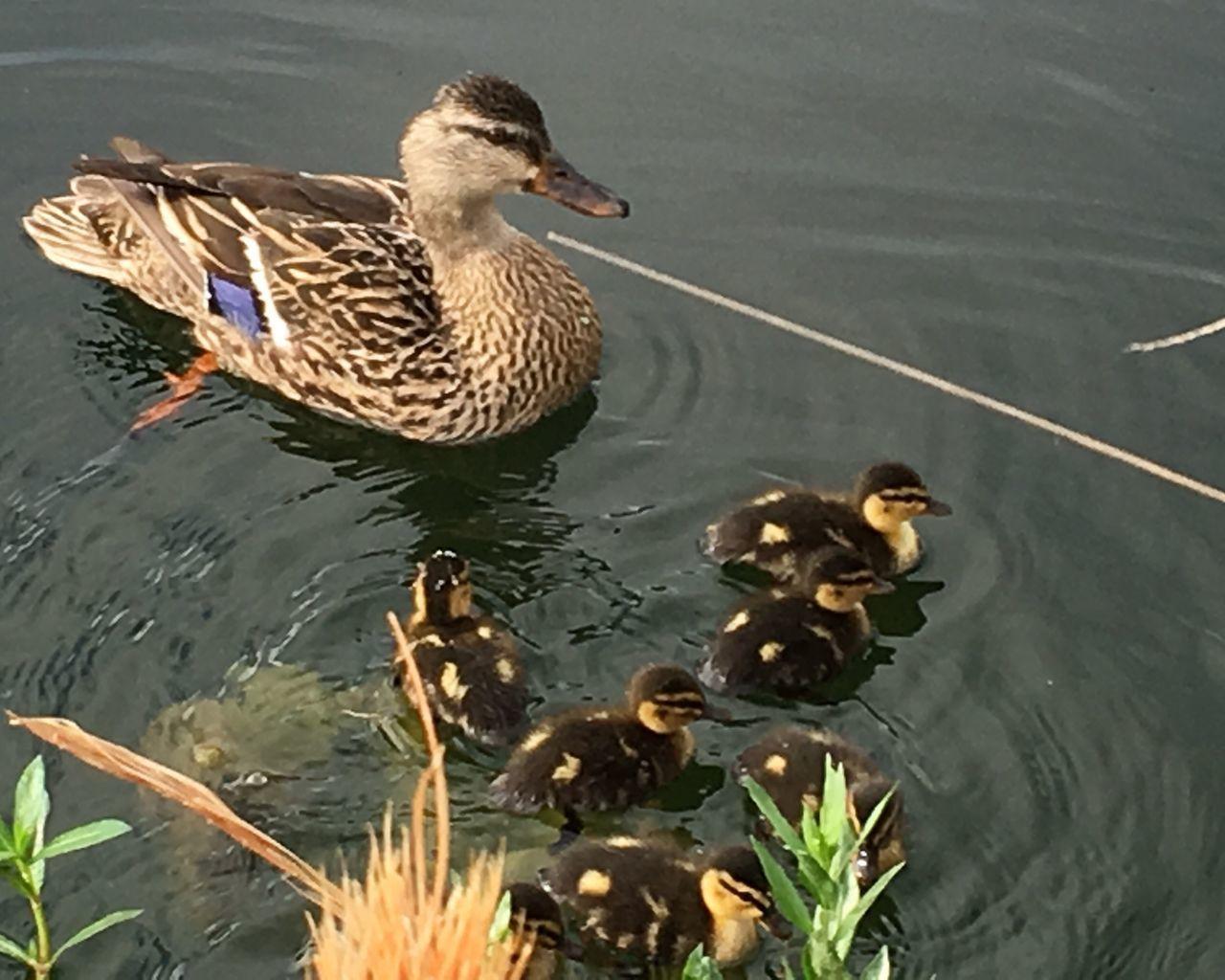 Mother Duck Ducklings Mallard Ducks Baby Ducks Water Lake Duck Waterfront Swimming Waterfowl Adorable Cute