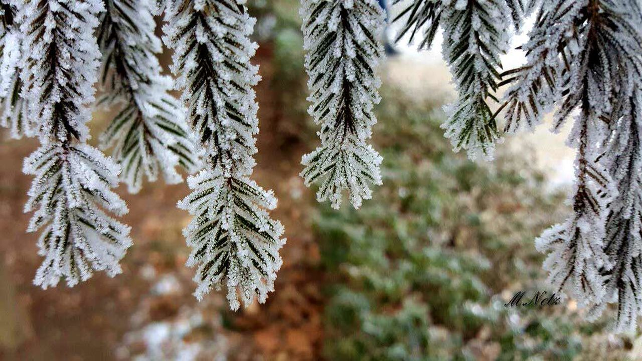 winter, cold temperature, snow, tree, pine tree, nature, weather, spruce tree, pinaceae, fir tree, no people, christmas tree, day, close-up, frozen, beauty in nature, outdoors, needle - plant part, focus on foreground, snowflake, branch, tranquility, christmas, growth